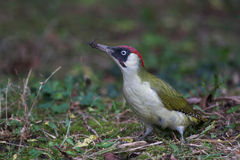 Green woodpecker. Forage in the ground stock photos