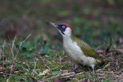 Green woodpecker Stock Photos