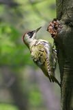 Green woodpecker. On the tree Picus viridis stock images