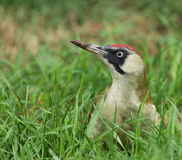 Green Woodpecker Royalty Free Stock Images