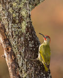 Green Woodpecker Royalty Free Stock Photo