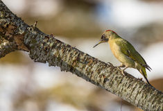 Green Woodpecker Royalty Free Stock Photography