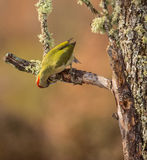 Green Woodpecker Royalty Free Stock Photo