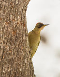 Green Woodpecker Royalty Free Stock Photos