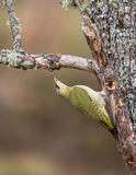Green Woodpecker Stock Photography