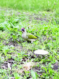 Green Woodpecker Adult  - Picus viridis Stock Image