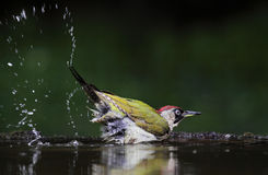 Green Woodpecker bath. The picture was taken form a mobile hide in Hungary Stock Image
