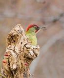 Green Woodpecker behind log Royalty Free Stock Image