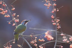 Green woodpecker on branch of spindle tree Royalty Free Stock Photo