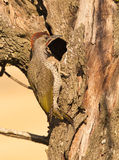 A Green Woodpecker checking a hole Stock Photography