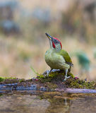 Green Woodpecker drinking at pool Stock Photos
