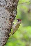 Green woodpecker feeding chick at nest Stock Photography