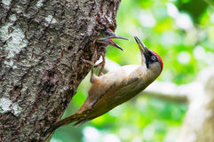 Green woodpecker female feeding young. Green woodpecker (Picus viridis) female at the entrance of the nest and young asking for food Royalty Free Stock Images