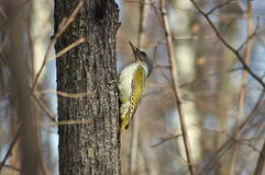 Green woodpecker  in  forest. Stock Photography
