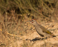 A Green Woodpecker on the ground Stock Image