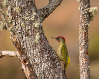 Green Woodpecker with lichen Royalty Free Stock Photography
