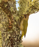 Green Woodpecker on lichen and moss Stock Images