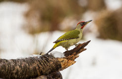 Green Woodpecker on a log. A Green Woodpecker (Picus viridis) perches on a snow-covered log with a snow-white background Stock Image