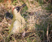 Green woodpecker. Looking for food Royalty Free Stock Photo