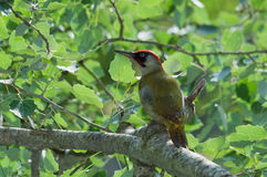 Green woodpecker male Royalty Free Stock Photography