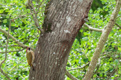 Green woodpecker nesting tree. Green woodpecker (Picus viridis) male and young on nesting tree Royalty Free Stock Images