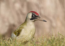 Green Woodpecker (Picus viridis) Royalty Free Stock Photography