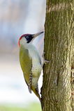 Green woodpecker (picus viridis) Stock Photos