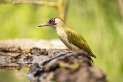 Green Woodpecker, Picus viridis stock photos