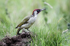 Green woodpecker, Picus viridis Stock Images