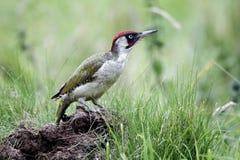 Green woodpecker, Picus viridis Stock Images