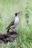 Green woodpecker, Picus viridis Stock Photography