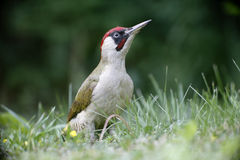 Green woodpecker, Picus viridis Royalty Free Stock Photos