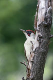 Green woodpecker, Picus viridis Stock Image