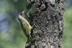 Green woodpecker, Picus viridis Royalty Free Stock Photo