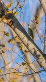 Green Woodpecker on Poplar tree Royalty Free Stock Photography
