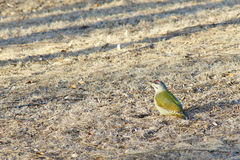 Green woodpecker Stock Photography