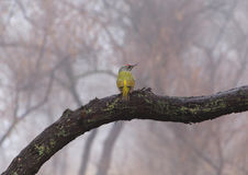 Green woodpecker Royalty Free Stock Image