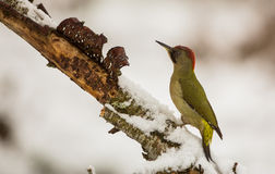Green Woodpecker with snow Royalty Free Stock Photo