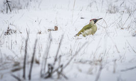 Green Woodpecker. In the snow. in the snow looking for food Stock Images