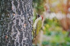 Green Woodpecker on the Tree Stock Photography