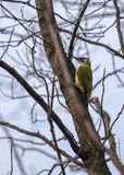 Green Woodpecker Royalty Free Stock Photos