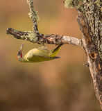 Green Woodpecker upside-down Royalty Free Stock Photography
