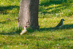 Green Woodpeckers in Grass Royalty Free Stock Photo