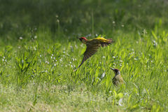 Green woodpeckers. Two green woodpeckers in spring grass, one on the ground and the other in flight Stock Photo