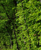 Green woods in summer. Green forest in Summer. Trees in the woods. Deciduous forest. Broadleaved trees Stock Photo