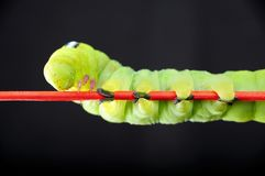 Green worm Stock Photo