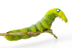 Green worm Stock Image