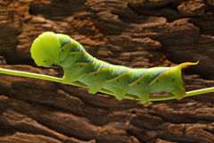 Green Worm Royalty Free Stock Image