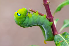 Green worm creep Royalty Free Stock Photography