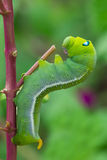 Green worm creep Stock Photography